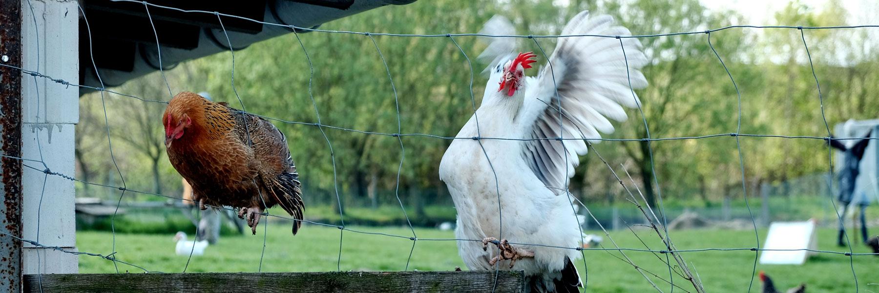 Hühner - Sabines Bauernhof