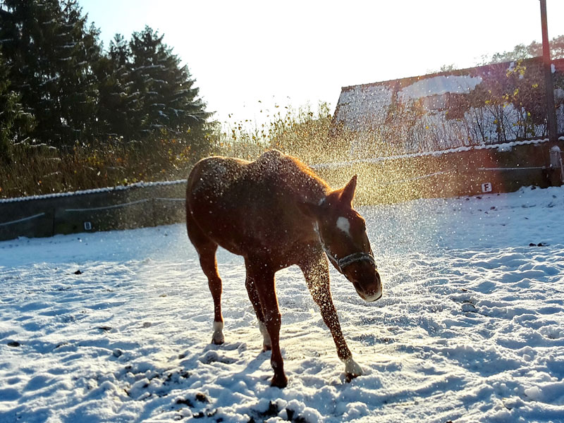 Pferd auf dem Reitplatz im Winter