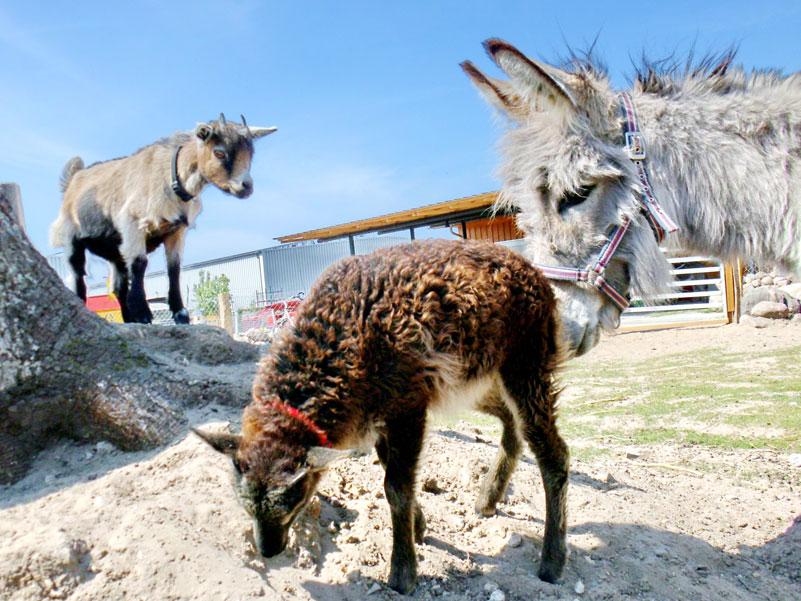 Tiere auf dem Eselhof