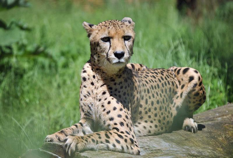 Gepard im Zoo Rostock