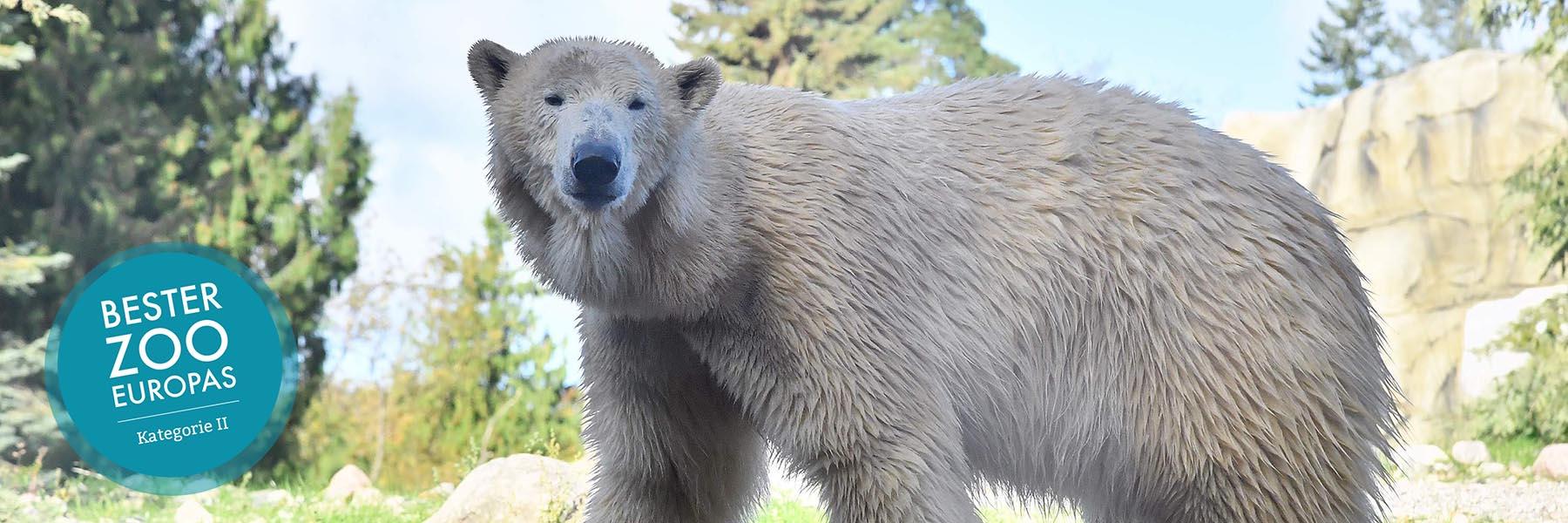 Eisbär - Zoologischer Garten Rostock