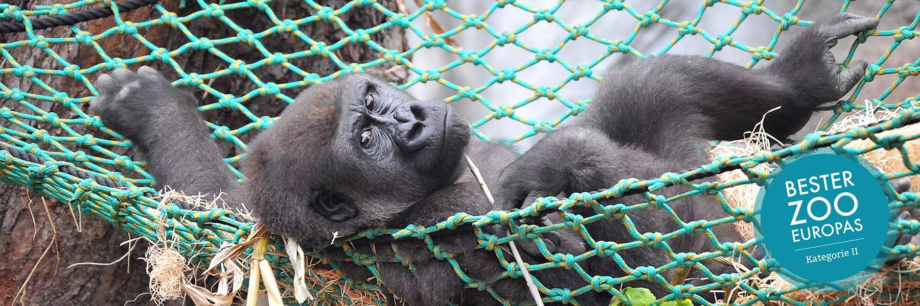 Gorilla - Zoologischer Garten Rostock